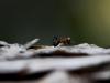Hormiga en pino